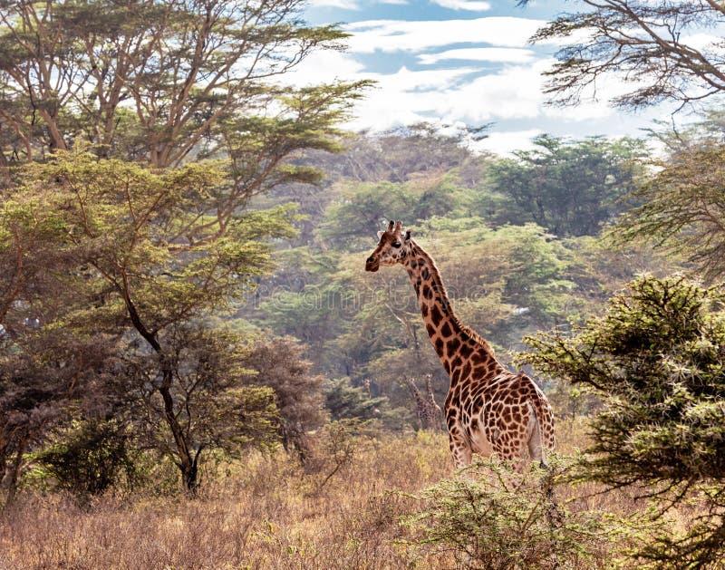 Rothschild giraff i sjön Nakuru Kenya arkivfoton