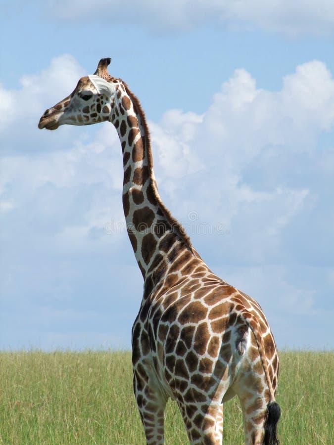 Rothschild giraff i Uganda royaltyfria bilder
