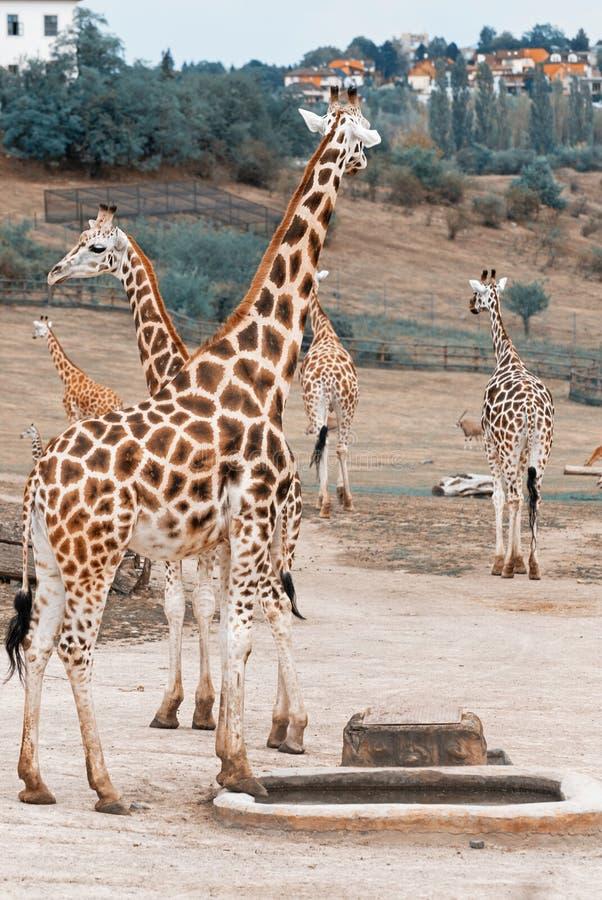 Rothschild giraff i zoo arkivfoto