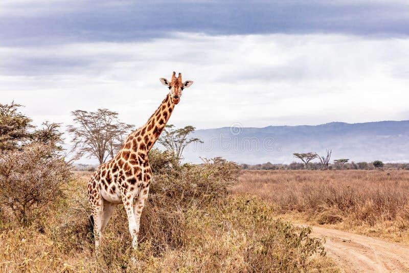 Rothschild giraff längs vägen i Kenya Afrika arkivfoto