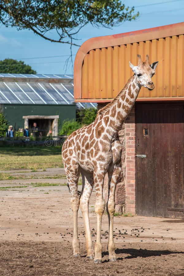 Rothschild giraff tre gamla veckor arkivbild
