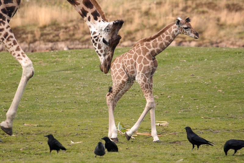 Rothschild Giraffe. Walking Rothschild Giraffe with calf stock photos