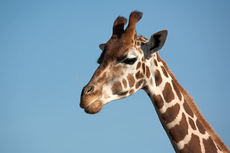 Rothschild Giraffe. Walking over the savanna with his head in the blue sky royalty free stock photos