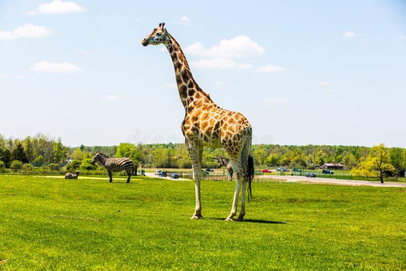 Rothschild Giraffe. African lion Safari royalty free stock image