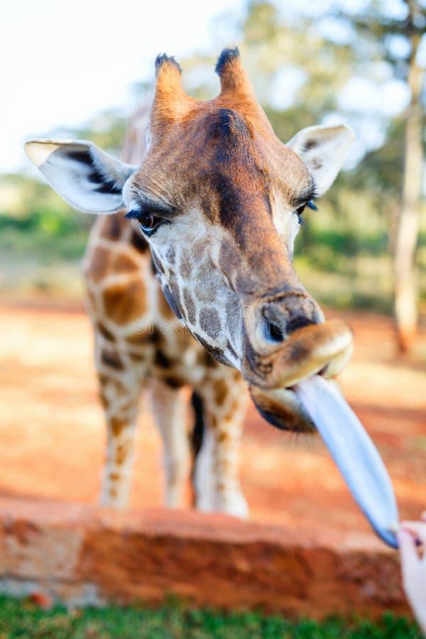 Rothschild Giraffe. Feeding a young endangered Rothschild Giraffe in Africa royalty free stock photos