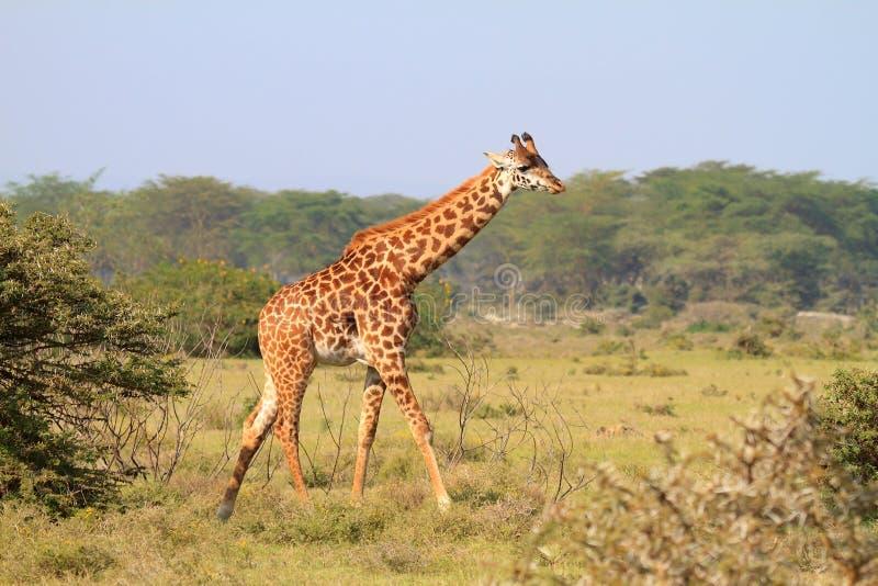 Rothschild giraffe in Kenya. One Rothschild giraffe in wild Kenya royalty free stock photos
