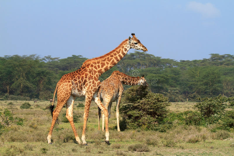 Rothschild giraffe in Kenya. Two Rothschild giraffe in wild Kenya stock photography