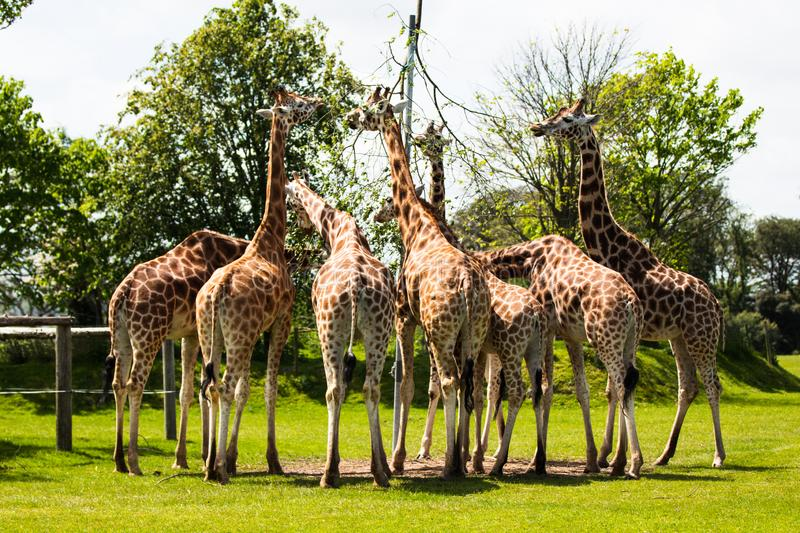 Rothschild Giraffe, one of nine subspecies in Africa, tallest of the land mammals. Often referred to as the watchtowers of the Serengeti as it helps alert stock photos