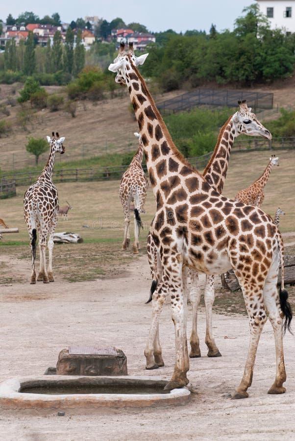Rothschild-Giraffen (Giraffa camelopardalis rothschildi) in lizenzfreie stockfotos