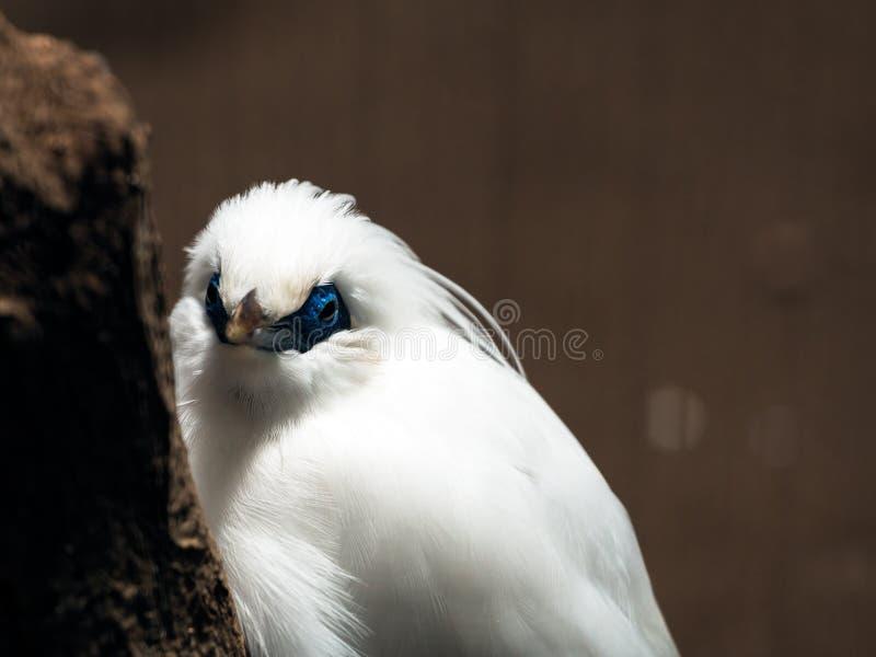 Rothschild mynah die vogel op tropisch gebied zoals Bali is stock afbeelding