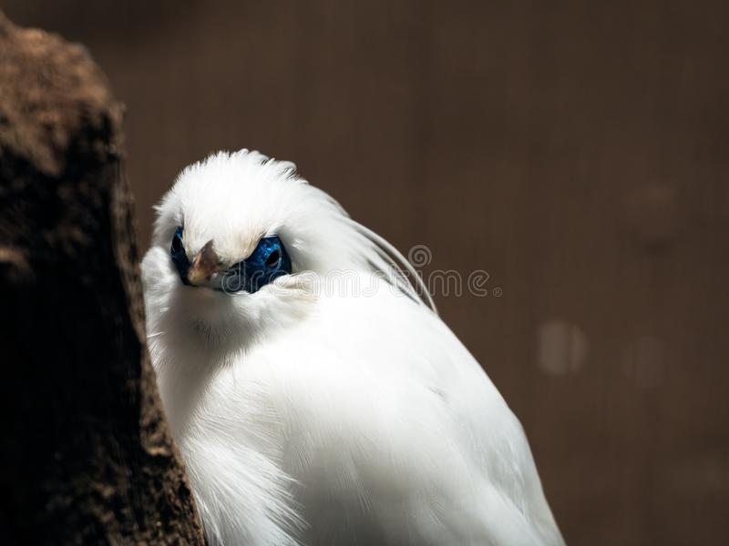 Rothschild mynah which is bird in tropical area such as Bali stock image