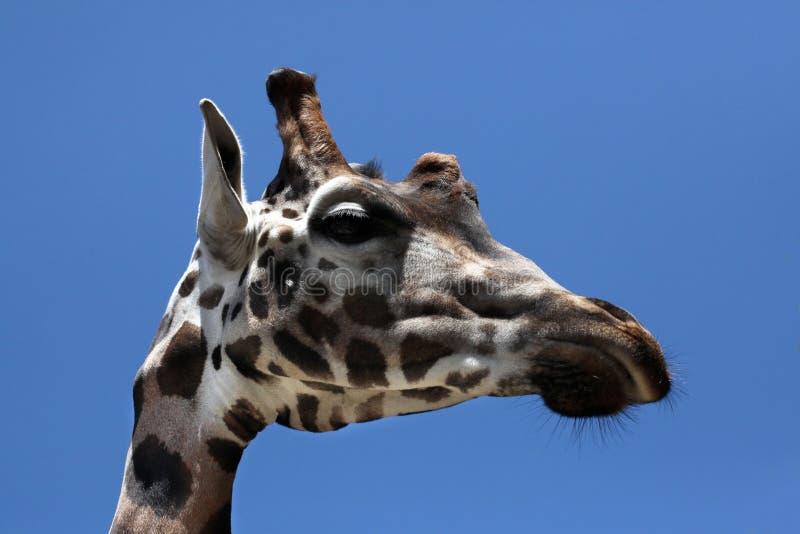 Rothschild& x27; s giraf & x28; Giraffacamelopardalis rothschildi& x29; royalty-vrije stock foto's