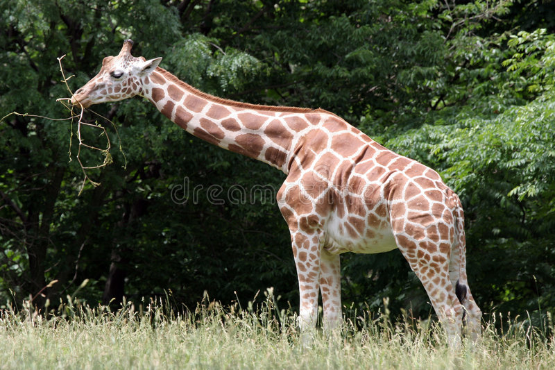 Rothschild's Giraffe. A Rothschild's Giraffe from the Bronx Zoo stock photo