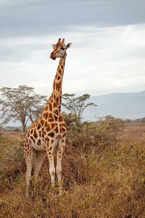 Rothschild;s Giraffe Standing in Kenya Africa. Endangered Rothschild`s giraffe standing in Lake Nakuru, Kenya Africa field stock image