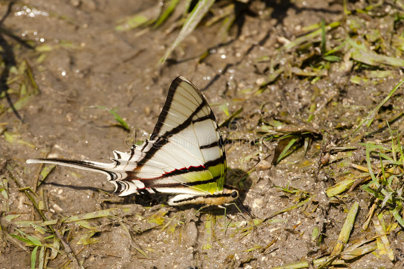 Rothschilds Swordtail Butterfly on Mudflat. A beautiful white butterfly with black stripes(note thin red stripe mid-wing), green base of wings and legs, peach stock photos