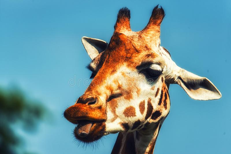 Rothschildi camelopardalis Giraffa жирафа Rothschild стоковая фотография rf