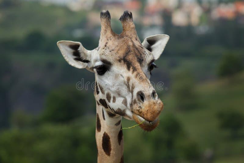 Rothschildi camelopardalis Giraffa жирафа Rothschild стоковые фото