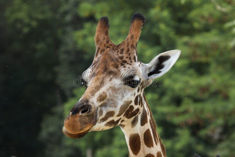 Rothschildi camelopardalis Giraffa жирафа ` s Rothschild стоковое фото rf