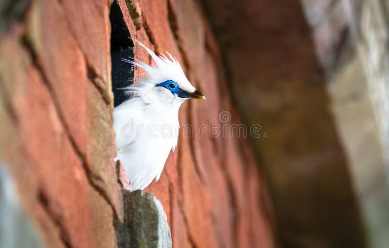 Rothschildi de Leucopsar d'oiseau de myna de Bali images libres de droits