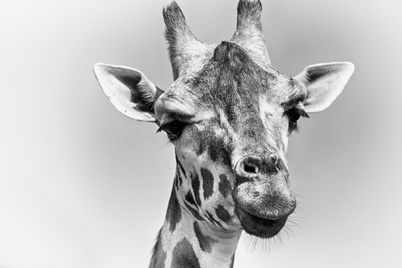 Rothschildi dos camelopardalis do Giraffa do girafa do ` s de Rothschild fotografia de stock