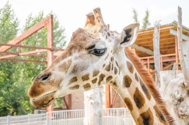 Rothschildi för camelopardalis för Rothschild giraffGiraffa royaltyfri bild