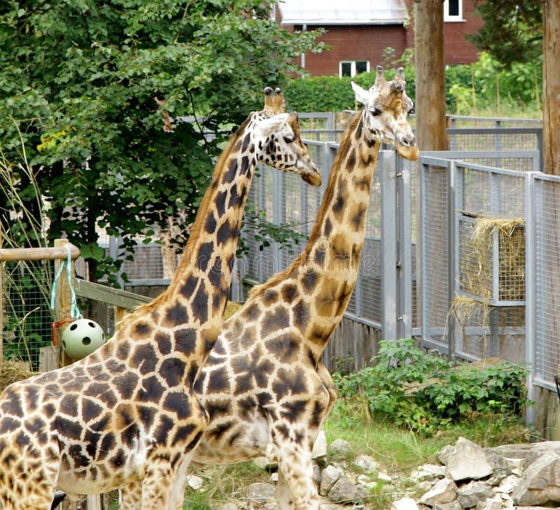 Rothschildi för camelopardalis för giraffBaringo Giraffa royaltyfri bild