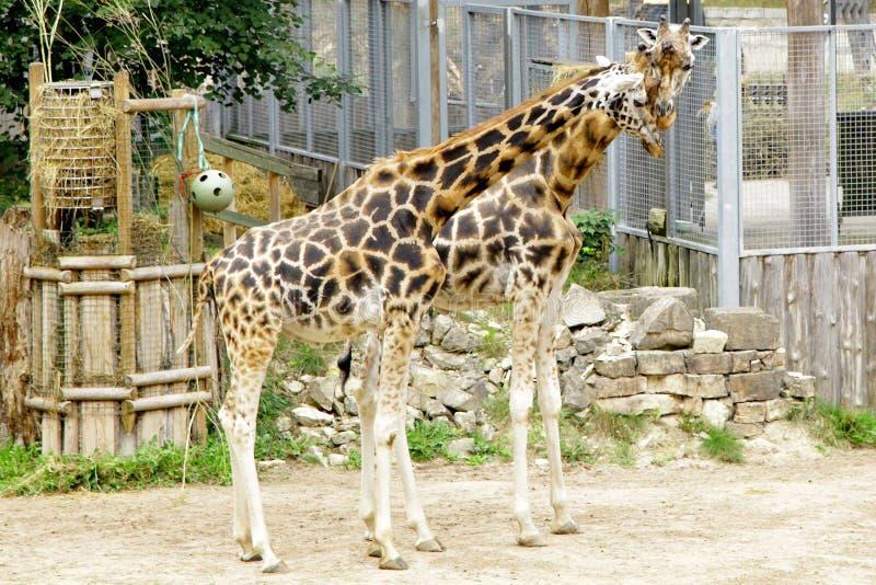 Rothschildi för camelopardalis för giraffBaringo Giraffa fotografering för bildbyråer