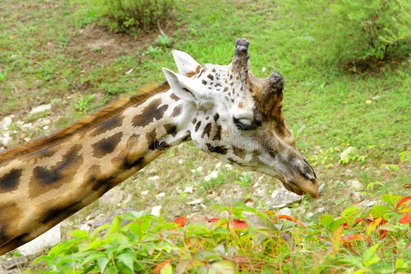 Rothschildi för camelopardalis för giraffBaringo Giraffa arkivfoto