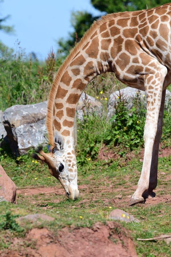 Rothschildi för camelopardalis för Rothschilds giraffGiraffa arkivfoto