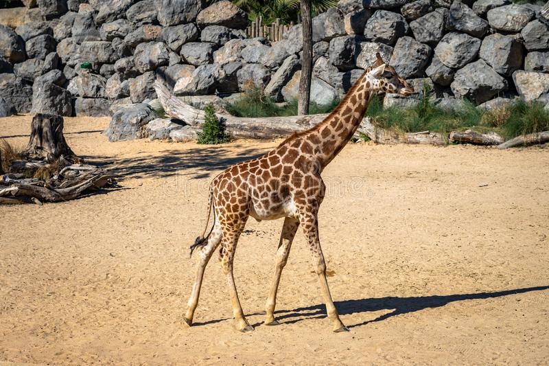 Rothschildi för camelopardalis för Rothschilds giraffGiraffa i den Barcelona zoo royaltyfria foton