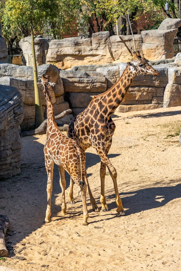 Rothschildi f?r camelopardalis f?r Rothschilds giraffGiraffa i den Barcelona zoo royaltyfria bilder