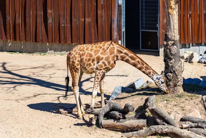 Rothschildi f?r camelopardalis f?r Rothschilds giraffGiraffa i den Barcelona zoo royaltyfri fotografi