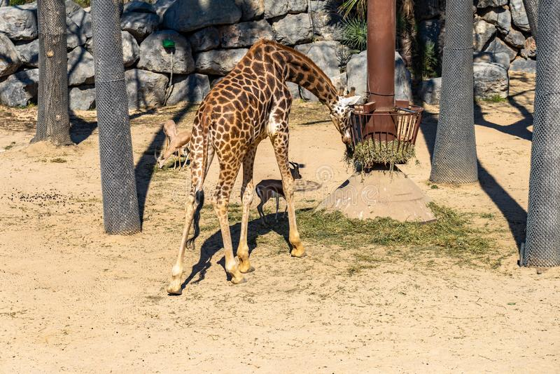 Rothschildi f?r camelopardalis f?r Rothschilds giraffGiraffa i den Barcelona zoo arkivbild