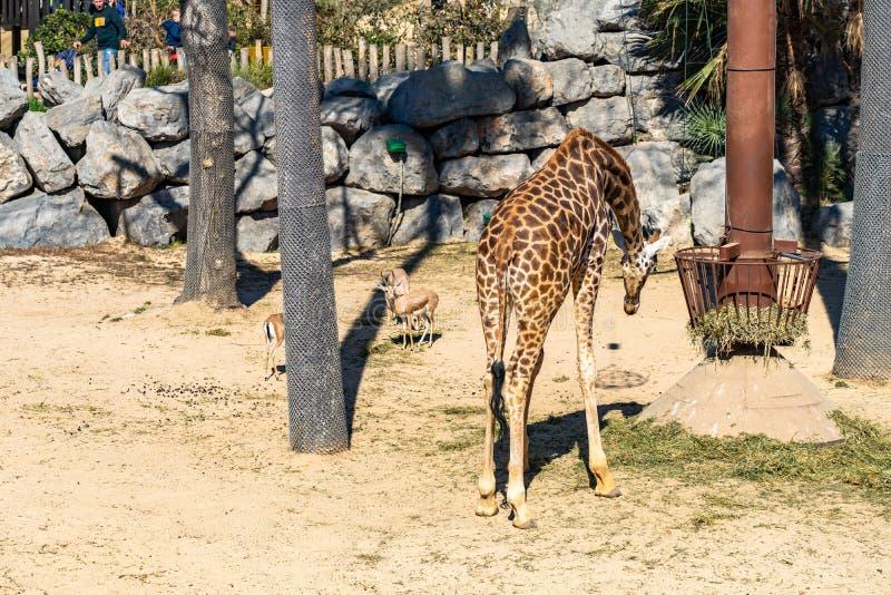 Rothschildi f?r camelopardalis f?r Rothschilds giraffGiraffa i den Barcelona zoo fotografering för bildbyråer