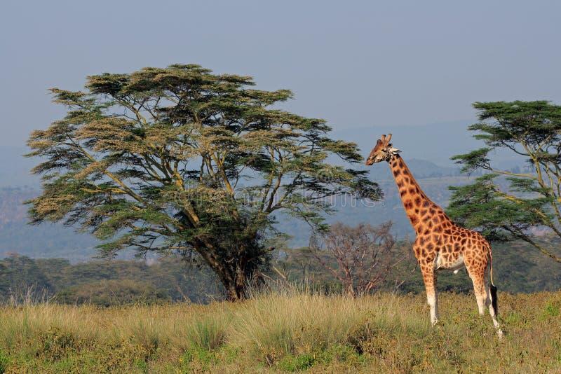 Rothschilds żyrafa obrazy stock