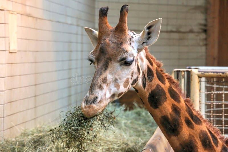 Rothschilds giraff royaltyfri bild
