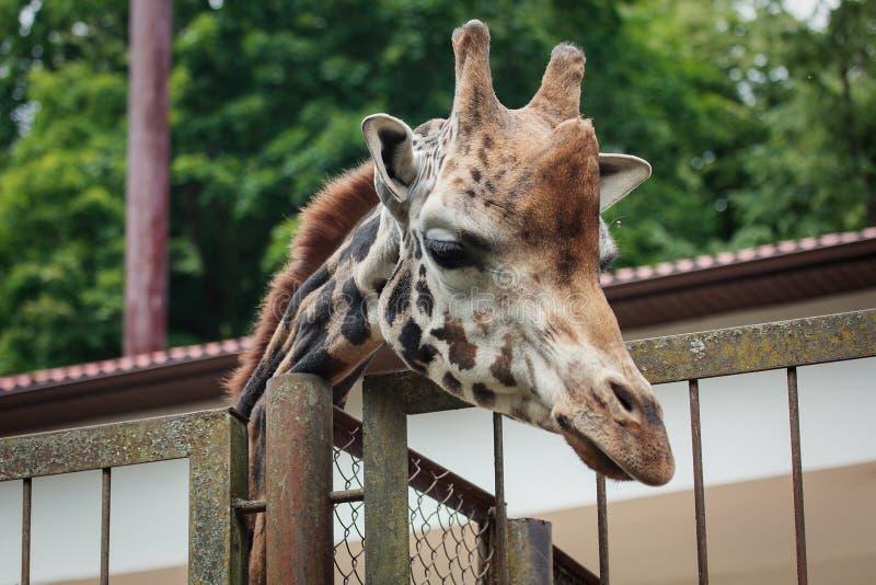 Rothschilds giraff fotografering för bildbyråer