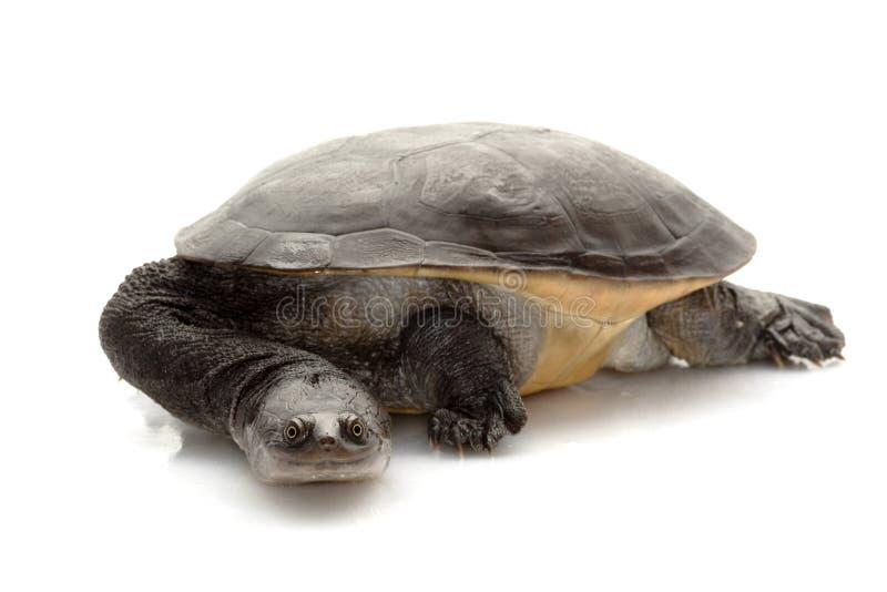 Download Roti Island Snake-necked Turtle Stock Photo - Image of slow, white: 10202902