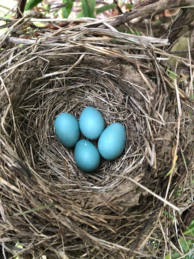 Rotkehlchen-Ei-Nest lizenzfreie stockfotografie
