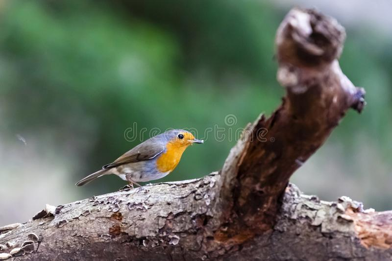 European robin / Erithacus rubecula stock photo