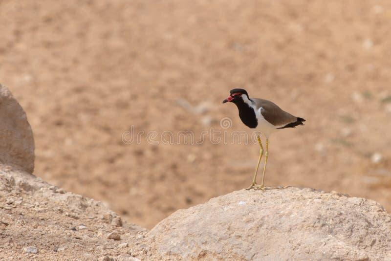 Rotlappenkiebitzstellung im braunen heißen Sand und im Felsen im Arabische Emirate-Vanellus indicus lizenzfreies stockbild