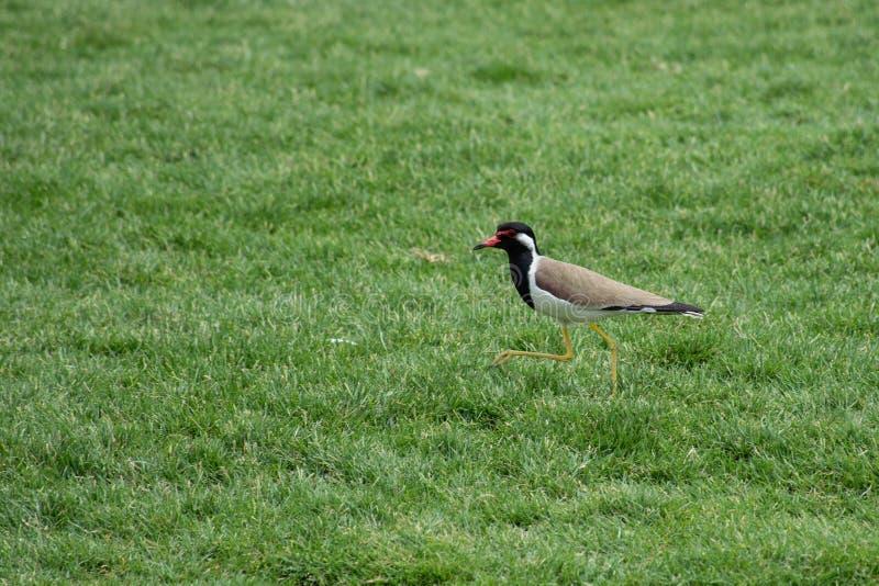 Rotlappenkiebitzstellung mit seinem Schnabel offen auf dem grünen Gras im Arabische Emirate-Vanellus indicus lizenzfreie stockbilder