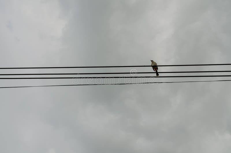 Rotohrbülbül auf Kabel stockfotografie