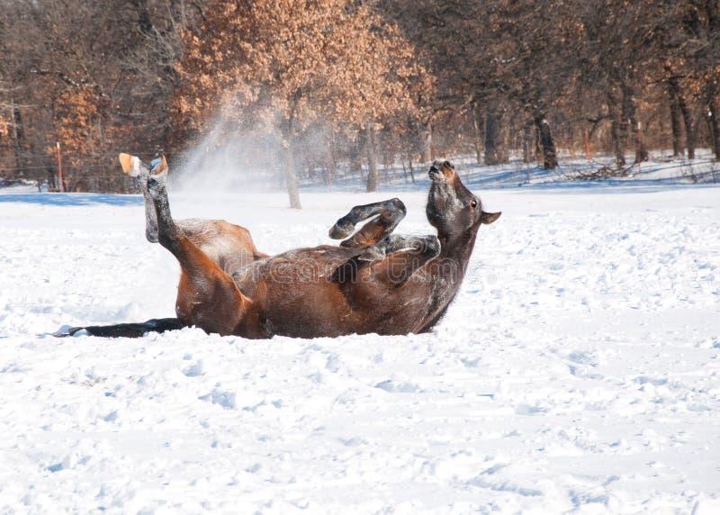 Rotolamento arabo del cavallo della baia scura nella neve fotografia stock libera da diritti