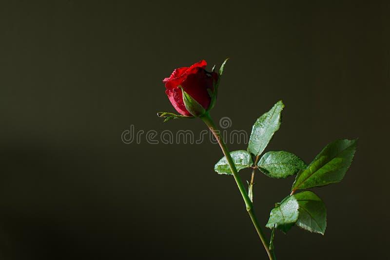 Rotrose auf dunkelgrünem Hintergrund stockbilder
