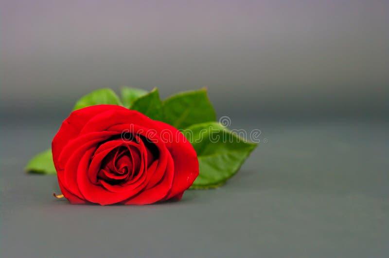 Rotrose auf einem drey Hintergrund stockfotografie