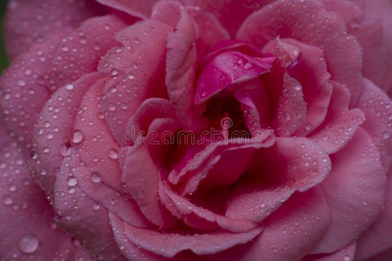 Rotrose mit Wassertropfen, lizenzfreies stockfoto