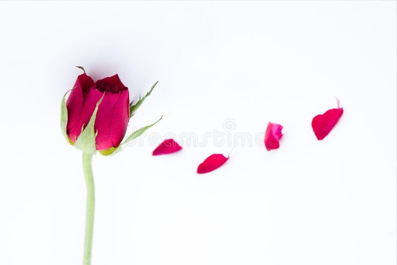 Rotrose und -blumenblätter auf weißem Hintergrund stockbild