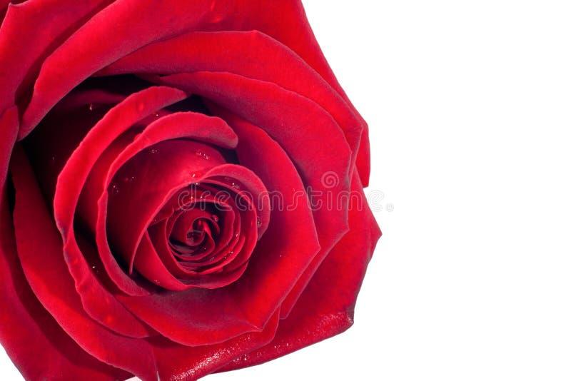 Rotrose und -blumenblätter auf weißem Hintergrund lizenzfreies stockfoto