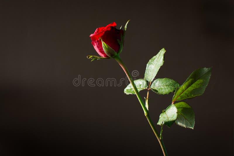 Rotrose und -sonne beleuchten auf dunklem Hintergrund stockfotos